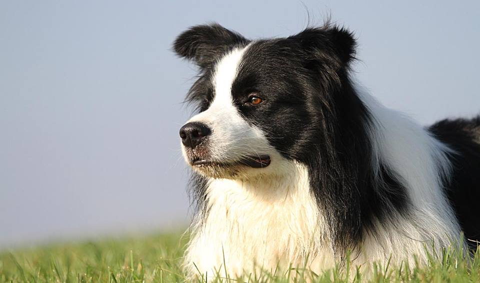 Amazeme bordercollies
