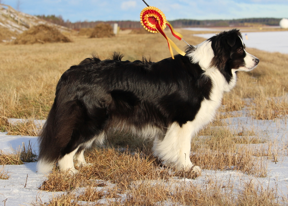 Amazeme Border Collies